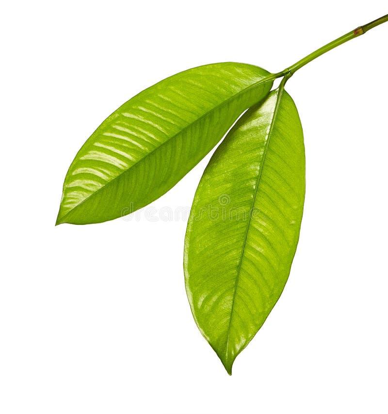 O mangustão sae, a árvore sempre-verde tropical, folha do mangustão isolada no fundo branco fotos de stock royalty free