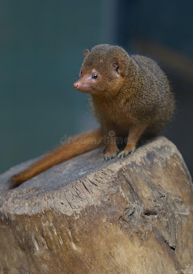 O mangusto africano está sentando-se em um topo da árvore Retrato Close up bonito do retrato do mangusto Mangusto de Ásia fotografia de stock royalty free
