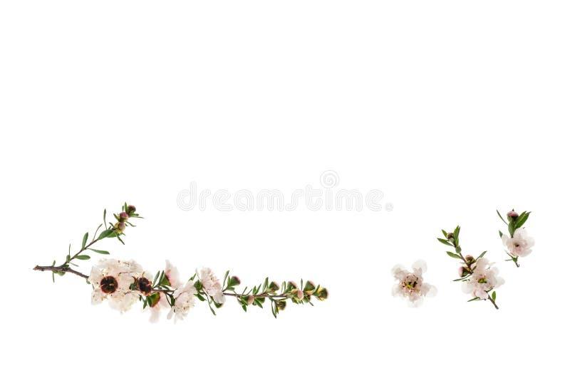 O manuka isolado floresce no fundo branco com espaço da cópia fotos de stock royalty free