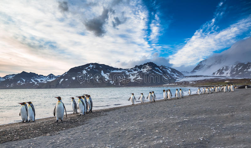 O março do rei Penguins fotografia de stock