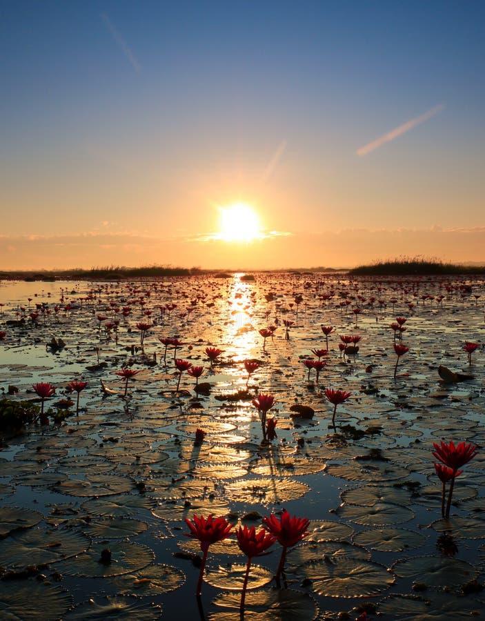 O mar de lótus vermelhos, lago Nong Harn, Udon Thani, Tailândia fotos de stock