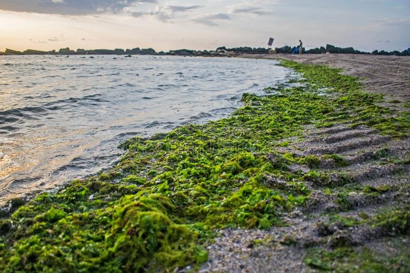 O mar trouxe muitas algas à costa a praia completamente das algas fotografia de stock