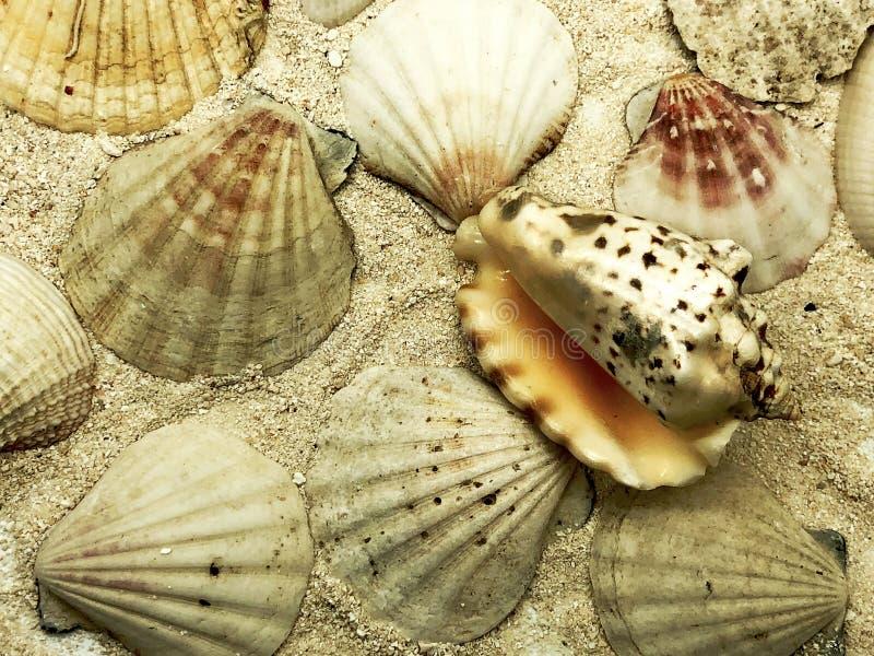 O marisco do mar do oceano e o close up dos shell no curso da temporada de verão do detalhe da areia encalham fotografia de stock royalty free