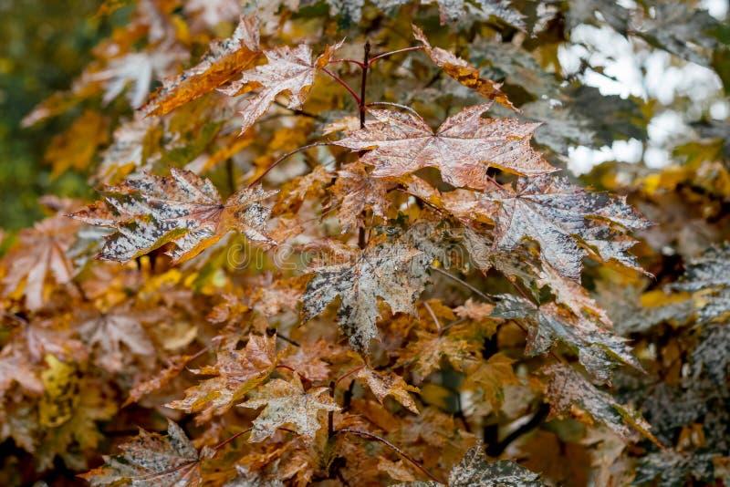 O marrom molhado deixa em uma árvore nova um bordo em um day_ chuvoso do outono fotos de stock