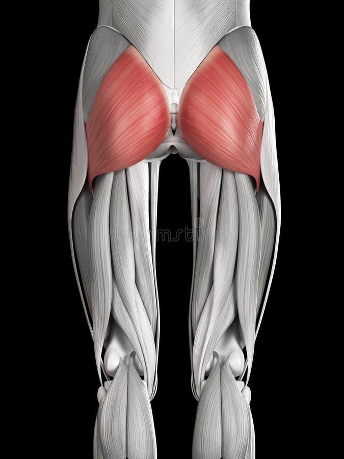 O maximus do músculo glúteo ilustração do vetor