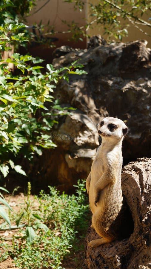 O meerkat no jardim zool?gico Seres pequenos muito interessantes, curiosos imagens de stock royalty free