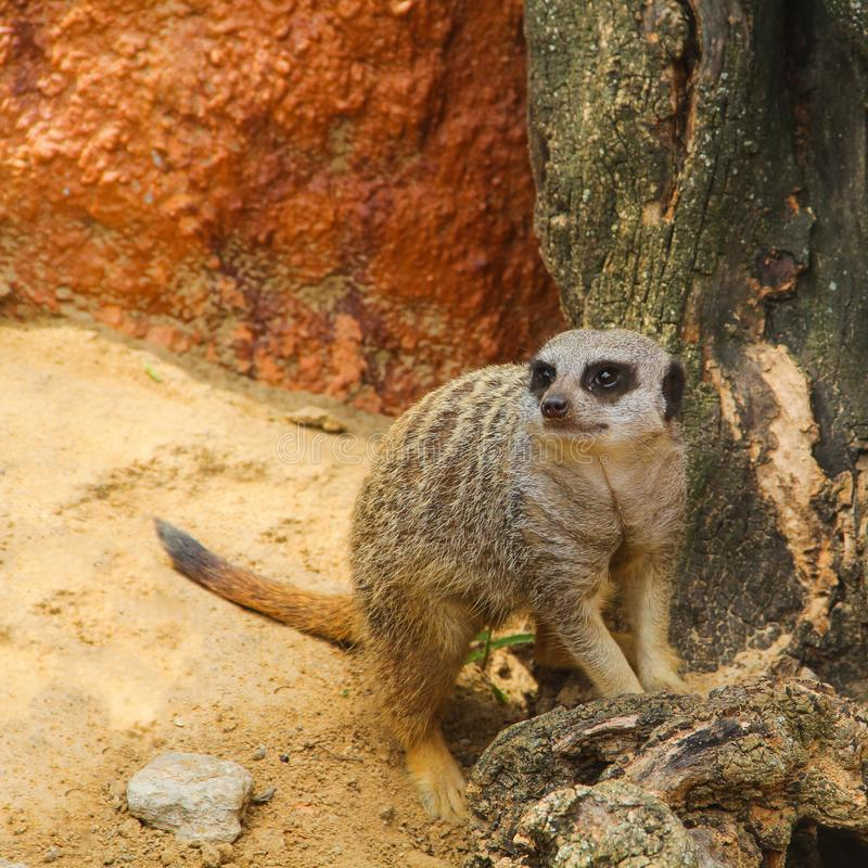 O meerkat, ou lat do meerkat O suricatta do Suricata é uma espécie de mamíferos fotos de stock royalty free