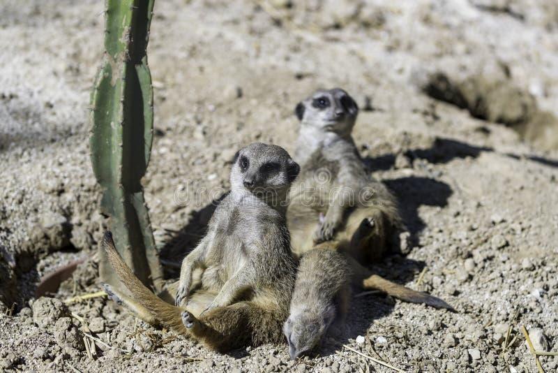 O meerkat ou o suricate (suricatta do Suricata) fotografia de stock royalty free