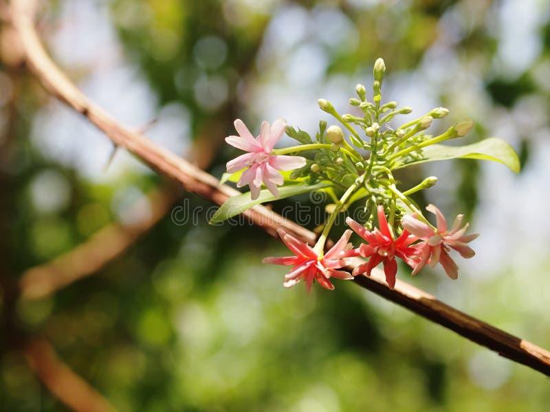 O mel chinês mama a flor, trepadeira de Rangoon, flores perfumadas tropicais minúsculas vermelhas da cor pastel imagem de stock