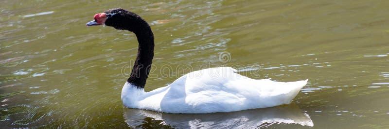 O melancoryphus Necked preto do Cygnus da cisne é uma cisne que seja o nativo o maior das aves aquáticas a Ámérica do Sul foto de stock royalty free