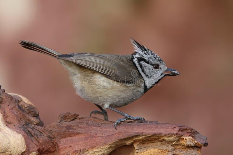 O melharuco com crista anuncia sementes de girassol perto dos alimentadores do pássaro imagem de stock