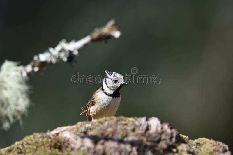 O melharuco com crista europeu, ou cristatus simplesmente com crista de Lophophanes do melharuco no parque natural de Beritz fotos de stock royalty free