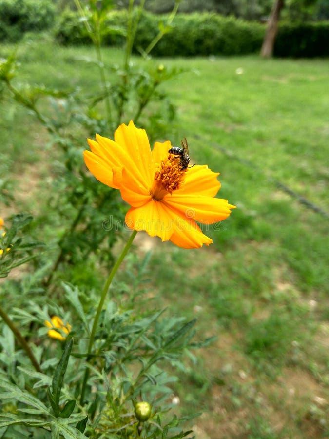 o melhor subtítulo da abelha e da flor nunca fotos de stock royalty free