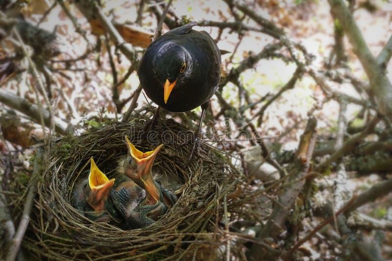 O melro no ninho com os pássaros de bebê com fome fotografia de stock royalty free
