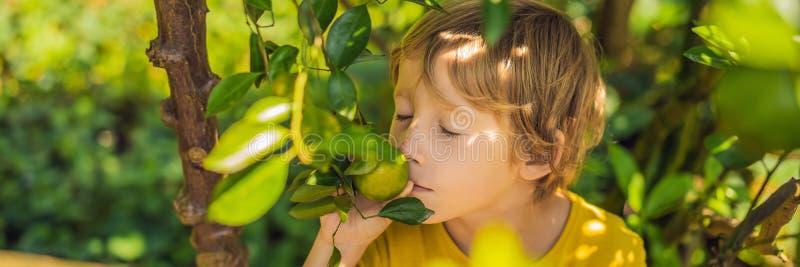 O menino bonito no jardim recolhe a BANDEIRA das tangerinas, FORMATO LONGO foto de stock royalty free