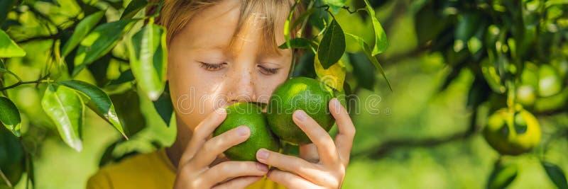 O menino bonito no jardim recolhe a BANDEIRA das tangerinas, FORMATO LONGO fotos de stock