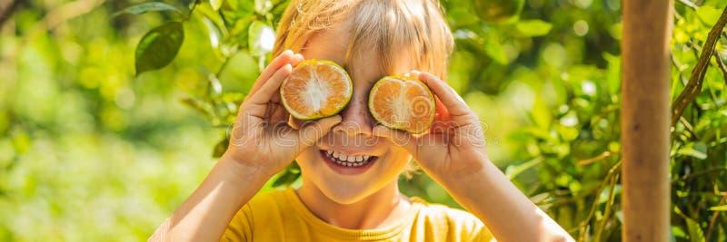 O menino bonito no jardim recolhe a BANDEIRA das tangerinas, FORMATO LONGO imagens de stock