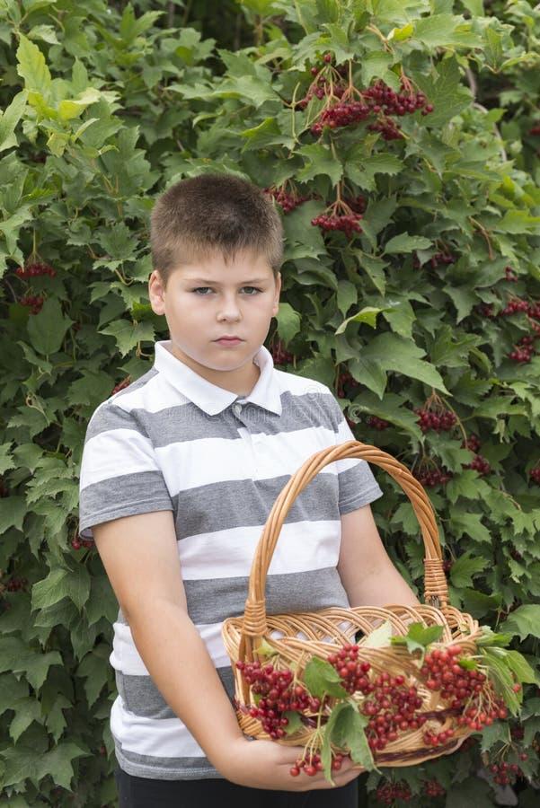 O menino recolhe bagas do viburnum no jardim foto de stock