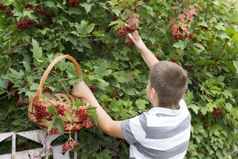 O menino recolhe bagas do viburnum no jardim fotos de stock