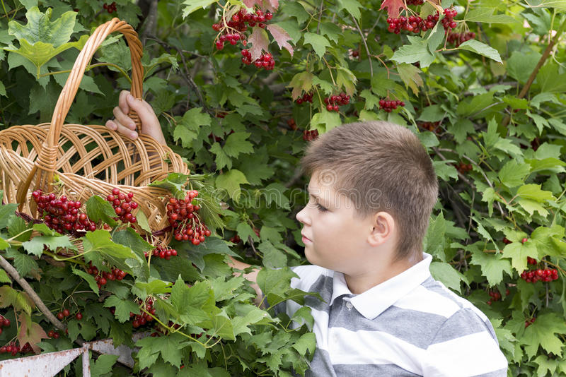O menino recolhe bagas do viburnum no jardim imagens de stock royalty free