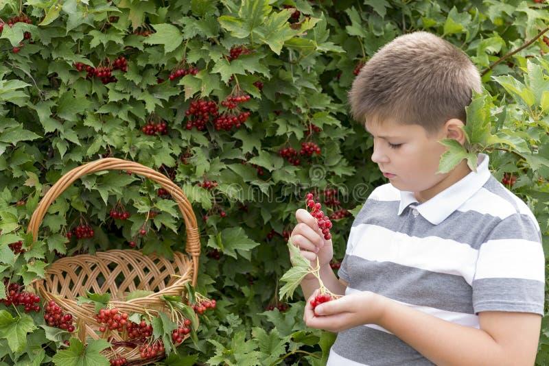O menino recolhe bagas do viburnum no jardim imagem de stock royalty free