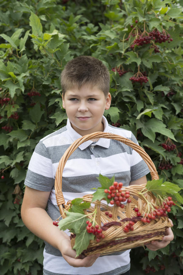 O menino recolhe bagas do viburnum no jardim imagens de stock