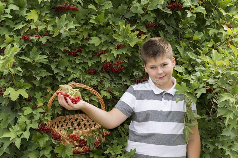 O menino recolhe bagas do viburnum no jardim imagem de stock