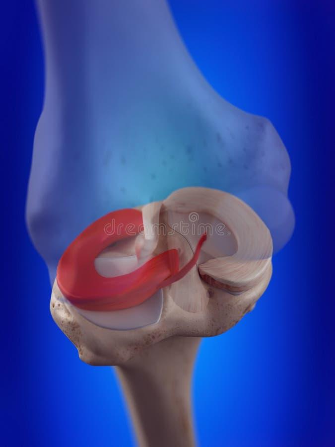 O menisco lateral ilustração stock