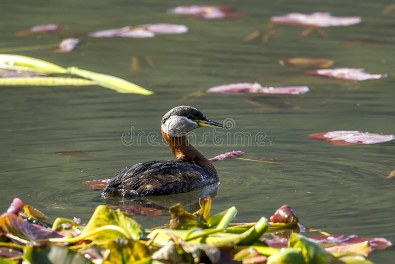 O mergulhão de pescoço encarnado fêmea nada no lago fotos de stock