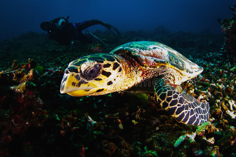 O mergulhador do mergulhador do fotógrafo toma uma foto da tartaruga verde imagens de stock royalty free