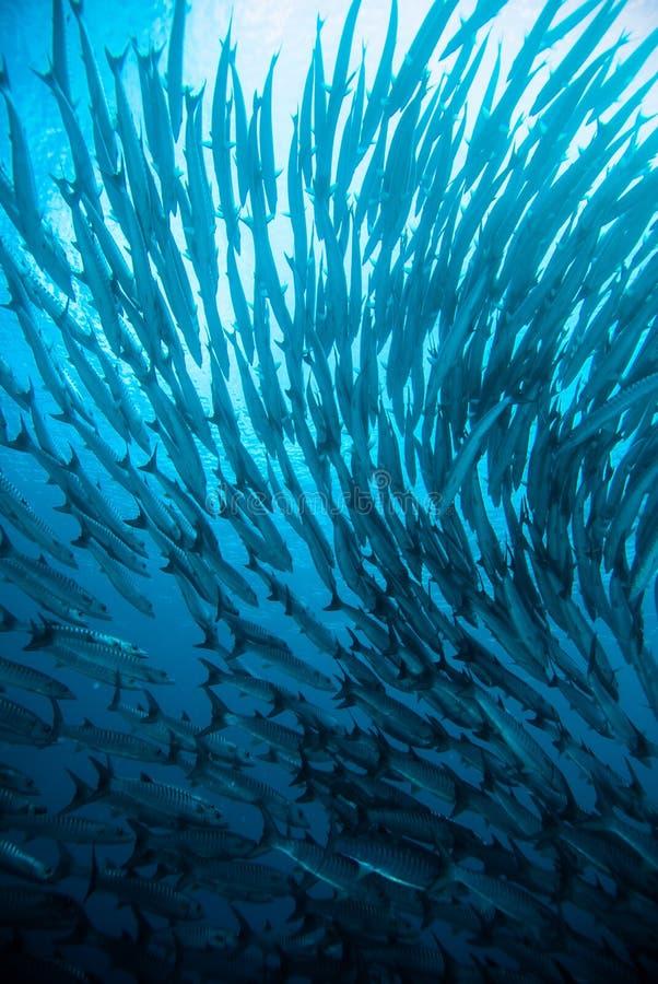 O mergulho autônomo azul do mergulhador do kingfish da barracuda da cavala bunaken o oceano de Indonésia fotos de stock royalty free