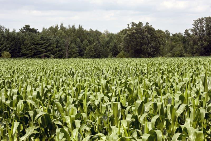O milho desengaça o campo fotografia de stock royalty free