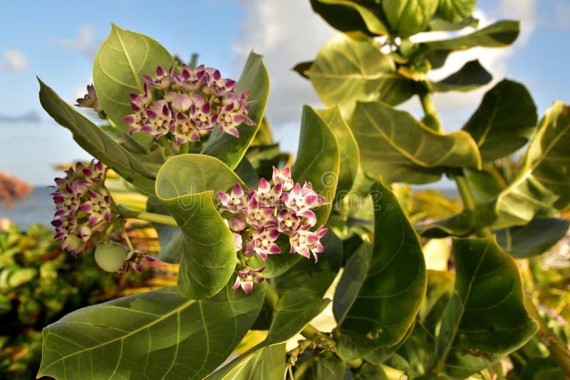 O Milkweed tropical é um membro do Asclepiadaceae da família de milkweed fotos de stock royalty free