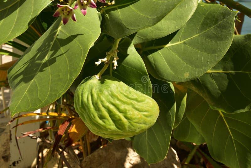 O Milkweed tropical é um membro do nativo do Asclepiadaceae da família de milkweed às Caraíbas, Ámérica do Sul, América Central o fotos de stock