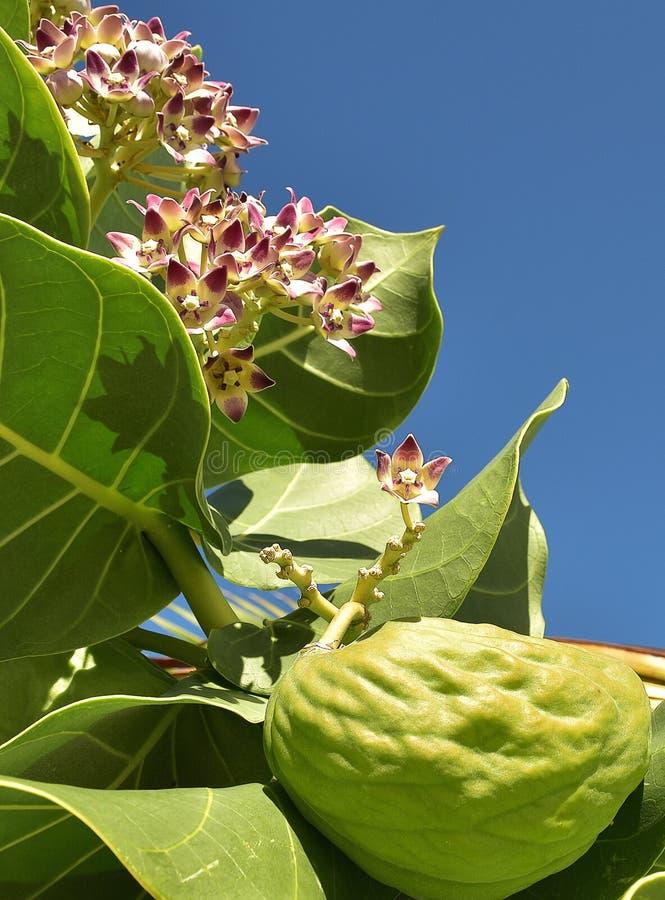 O Milkweed tropical é um membro do nativo do Asclepiadaceae da família de milkweed às Caraíbas, Ámérica do Sul, América Central o imagens de stock royalty free