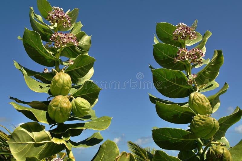 O Milkweed tropical é um membro do nativo do Asclepiadaceae da família de milkweed às Caraíbas, Ámérica do Sul, América Central o foto de stock royalty free