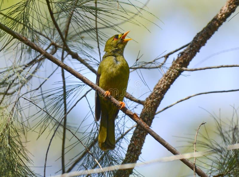 O mineiro ou o bellbird de Bell cantam imagens de stock