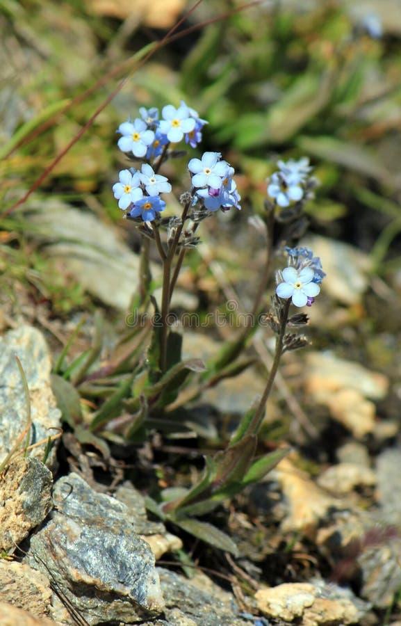 O miosótis azul floresce (o Myosotis) foto de stock royalty free