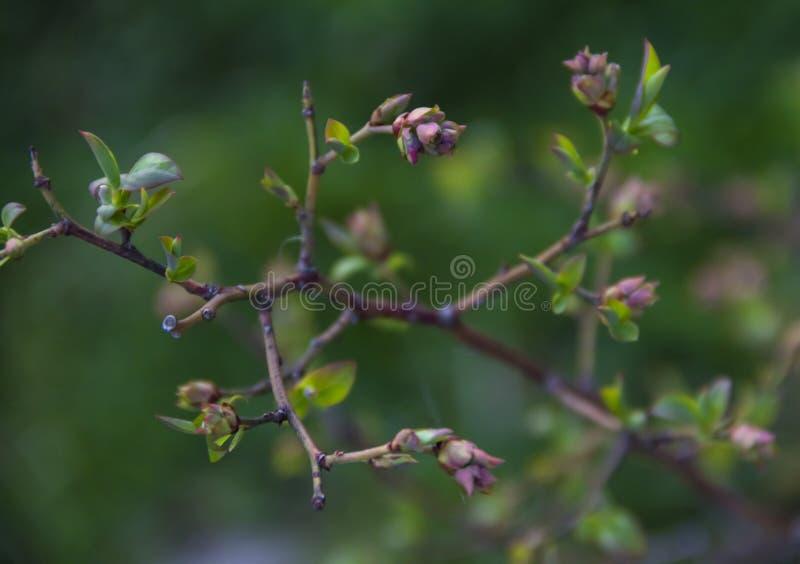 O mirtilo de Bush ramifica fundo do borrão do rosa do verde da flor das folhas fotografia de stock royalty free