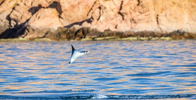 O Mobula que o raio é salta da água méxico Mar de Cortez imagem de stock royalty free