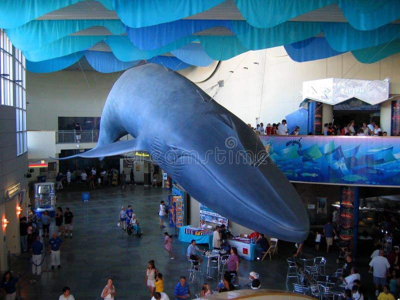 O modelo da baleia azul do aquário do Pacífico, Long Beach, Califórnia, EUA fotos de stock