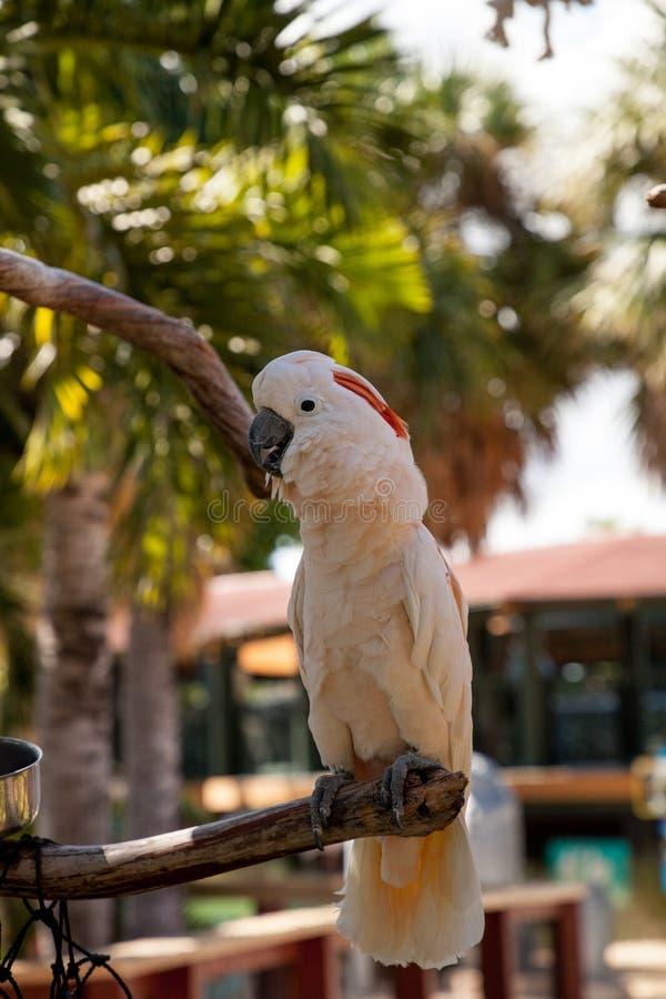 o moluccensis Salmão-com crista do Cacatua da cacatua é endêmico ao SE fotos de stock royalty free