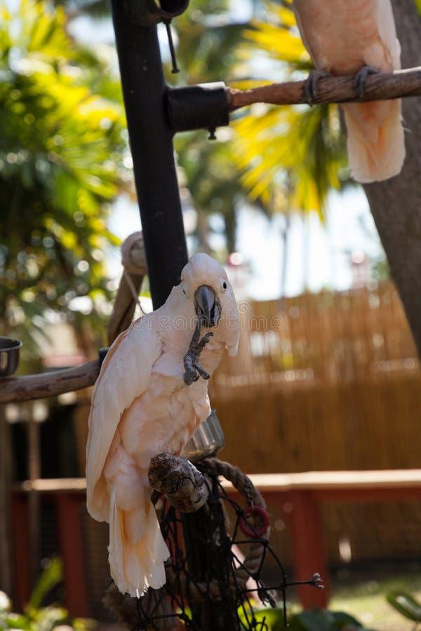o moluccensis Salmão-com crista do Cacatua da cacatua é endêmico ao SE foto de stock