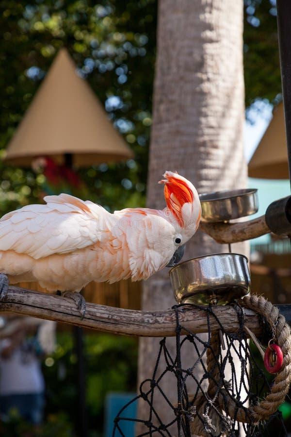 o moluccensis Salmão-com crista do Cacatua da cacatua é endêmico ao SE fotos de stock