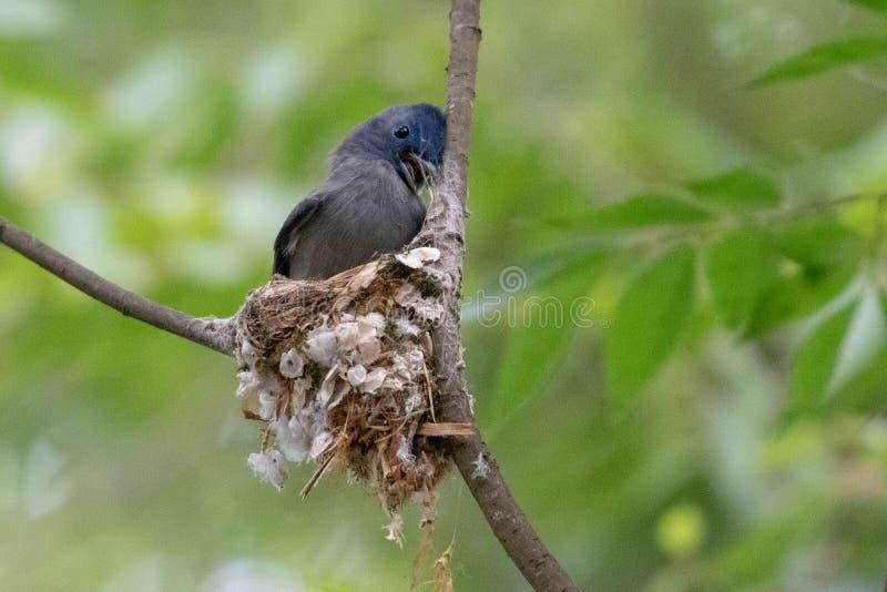 O monarca preto-naped rouba a seda da aranha para construir um ninho novo imagens de stock