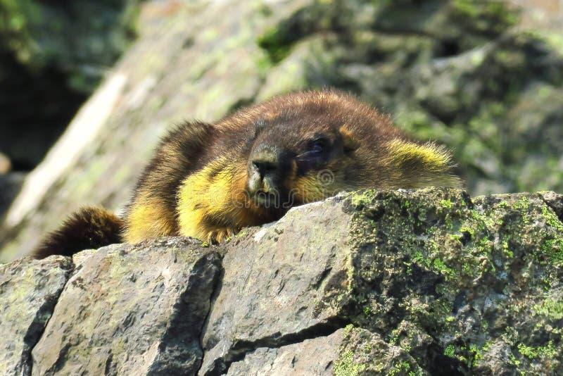O monax novo do Marmota da marmota olha para fora do interior do log fotos de stock