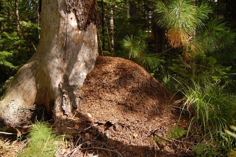 O monte grande da formiga em uma madeira conífera fotos de stock royalty free