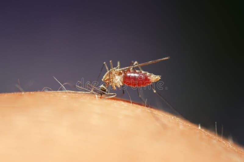 O mosquito bebe o sangue da pessoa que causa itching imagens de stock
