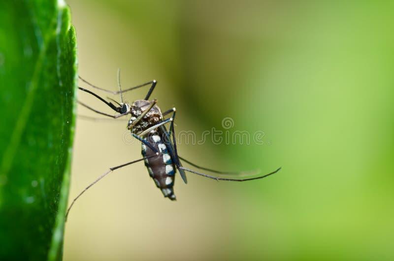 O mosquito na floresta ou no jardim é perigo imagem de stock royalty free