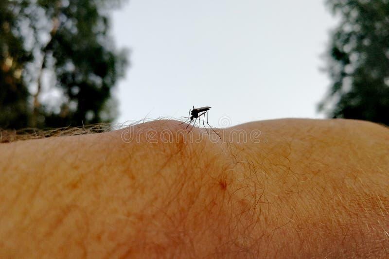 O mosquito Siberian senta-se no corpo humano e quer-se morder imagens de stock royalty free